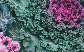 Picture flowers, color, cabbage