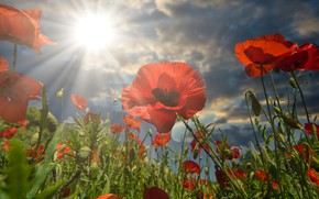 Picture the sky, the sun, clouds, rays, light, flowers, Maki, red, poppy field