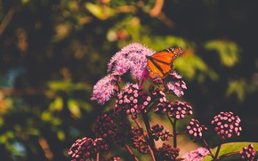 Picture summer, macro, flowers, nature, the dark background, butterfly, orange, insect, pink, bokeh