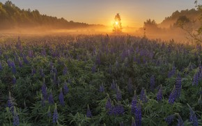 Picture the sun, sunset, meadow, Lupin