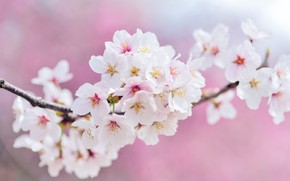 Picture flowers, cherry, branch, spring, Sakura, white, pink background, flowering, a lot, bokeh