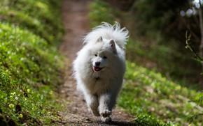 Picture light, nature, dog, running, walk, Samoyed