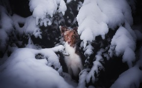 Picture winter, forest, look, face, snow, branches, spruce, dog, ate, the snow, brown, spruce paws, snow