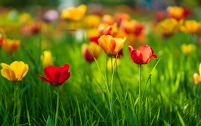 Picture greens, field, grass, light, flowers, mood, glade, bright, blur, spring, yellow, garden, tulips, red, orange, …