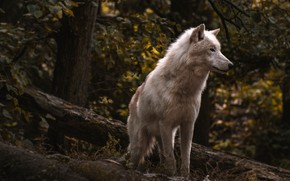 Picture forest, white, look, face, branches, pose, the dark background, thickets, foliage, wolf, slope, log, polar
