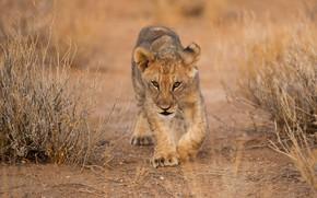 Picture field, baby, lion, sneaks