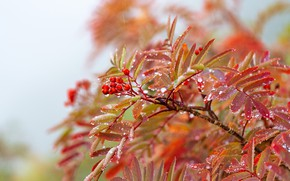Picture autumn, leaves, drops, berries, branch, Rowan