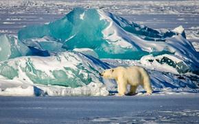 Picture winter, light, snow, blue, shore, ice, glacier, bear, iceberg, ice, polar bear, North, Arctic