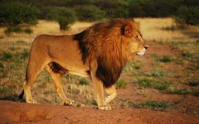 Picture look, pose, heat, Leo, Savannah, Africa, wild cat, wildlife, handsome, heat, important, alpha male, a …