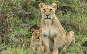 Picture look, nature, foliage, baby, pair, lions, lioness, mom, lion, two, sitting