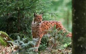 Picture Nature, Nature, Lynx, Wild cat, Wild cat, Lynx