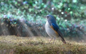 Picture light, glare, bird, glade, treatment, bird, blue, bokeh, синехвостка