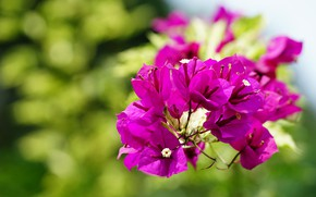 Picture leaves, flowers, bright, branch, pink, flowering, lilac, bokeh, blurred background, bougainvillea, hot pink