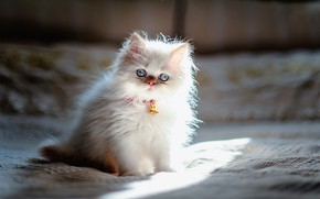 Picture Animals, Persian, White kitten