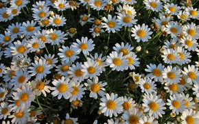 Picture summer, flowers, mood, chamomile