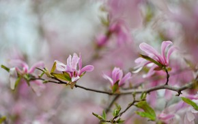 Picture branches, pink, Magnolia