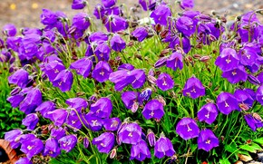 Picture flowers, bells, purple