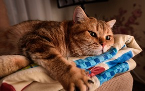 Picture cat, eyes, cat, look, pose, comfort, house, background, room, paw, paws, red, bed, lies, blanket, …