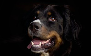 Picture language, look, face, portrait, dog, black background, looking up, Bernese mountain dog