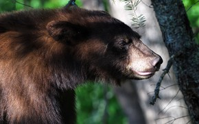 Picture forest, look, face, light, branches, background, trunks, portrait, bear, profile, wildlife, Himalayan
