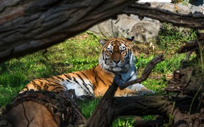Picture look, branches, tiger, lies, snag, log