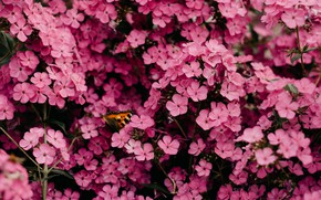 Picture flowers, butterfly, garden, pink, a lot, Phlox