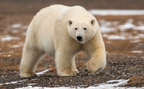 Picture white, look, nature, bear, bear, walk, polar bear