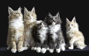 Picture kittens, Maine Coon, quintet