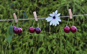 Picture flower, cherry, rope, cherry