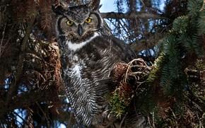 Picture trees, branches, nature, owl, bird, coniferous, owl, Virgin Filin, Bubo virginianus, Grand duke of America
