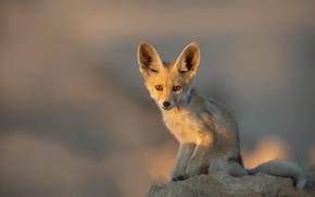 Picture nature, animal, Arabian Red Fox
