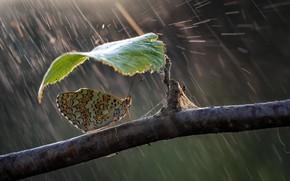Picture nature, umbrella, rain, butterfly, leaf, branch, Roberto Aldrovandi