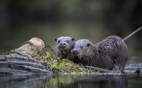Picture grass, pond, the dark background, shore, two, log, a couple, wet, pond, otter, otters, river