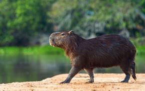 Picture shore, profile, walk, pond, the capybara, Vdovenko