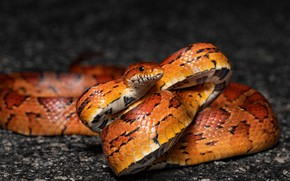 Picture look, face, close-up, the dark background, snake, orange, reptile