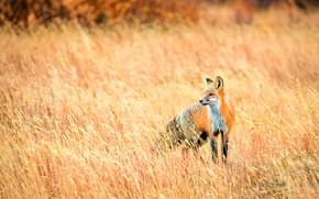 Picture field, autumn, grass, look, pose, spikelets, meadow, Fox, red, the bushes, bokeh