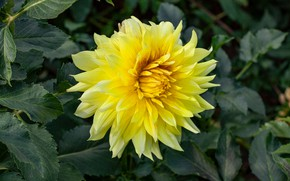 Picture leaves, garden, Dahlia, yellow