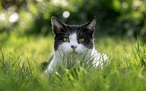 Picture greens, cat, summer, grass, cat, look, face, portrait, bokeh