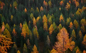Picture autumn, forest, trees, view, slope, larch, forest