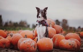 Picture autumn, dog, pumpkin