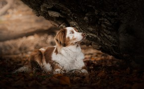 Picture autumn, forest, look, leaves, nature, pose, background, tree, foliage, dog, baby, puppy, lies, bark, blue …