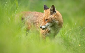 Picture greens, language, grass, look, face, nature, pose, background, portrait, Fox, profile, red, Fox