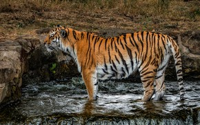 Picture cat, grass, nature, tiger, wet, pose, stones, waterfall, paws, is