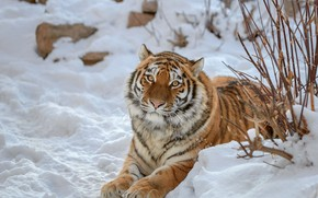 Picture winter, look, face, snow, branches, tiger, stones, Bush, paws, lies