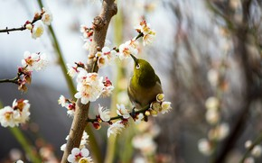 Picture flowers, branches, nature, background, bird, branch, spring, bird, green, flowering, little, bokeh, blurred, Japanese, bright, …