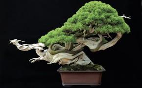 Picture tray, cultivate, Bonsai