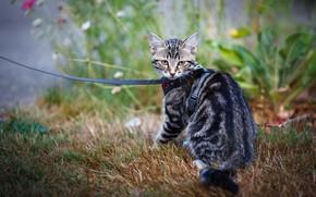 Picture cat, grass, kitty, garden, leash, kitty