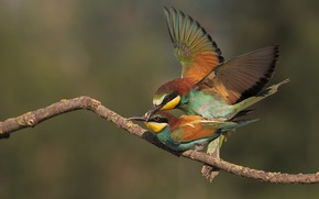 Picture love, birds, pose, background, bird, two, branch, pair, bright plumage, sex, bee-eaters, European bee-eater, pairing
