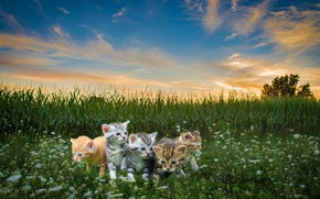 Picture field, kids, cats, meow, blue sky, Pets, высока трава, маленькие котята
