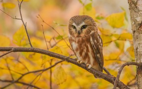 Picture autumn, look, leaves, branches, yellow, nature, background, owl, bird, foliage, yellow, sitting, owl, sychik